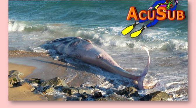 Una ballena muerta aparece en Montgat. Indignación en el municipio